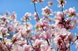 magnolia on blue background