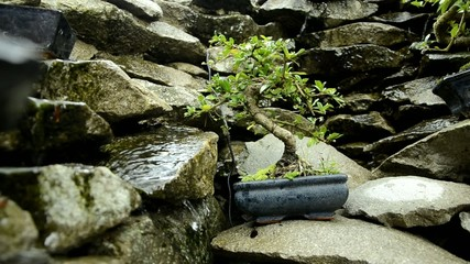 盆栽 Bonsai Bonsái Bonsaï Bonszai Бонсай 盆景 بونساي