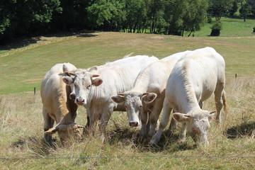 Weiße Kühe