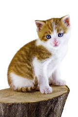 Kitty sitting on a piece of wood on white background