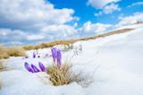 saffron crocus first spring flower on melting snow