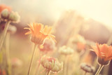 Fototapety Abstract nature blurred background - orange flowers on meadow