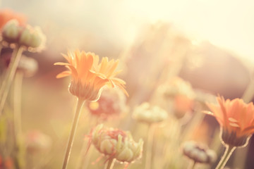 Abstract nature blurred background - orange flowers on meadow