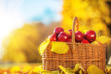 Basket of red juicy organic apples with yellow leaves outdoors