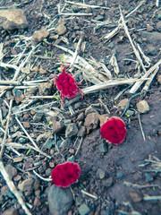 Red Velvet mite