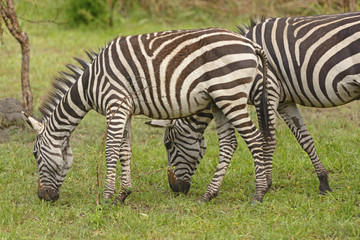 Young Zebra with adult in the forest
