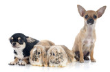 Lop Rabbit and chihuahua - 70926042