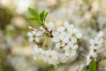 close up photo of white cherry flowers