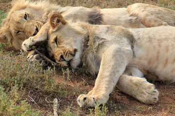 Two young lion brothers cuddling, hugged on the ground