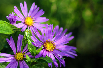 Aster in the morning with dew drops