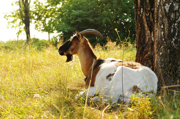 Goat lying portrait