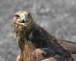 Great Eagle with attentive gaze and the gray background