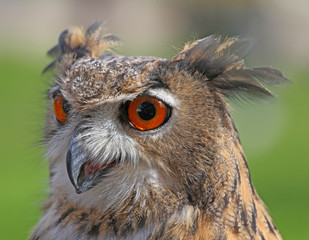 great OWL with huge orange eyes and the thick plumage
