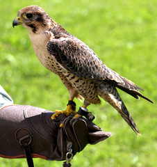 Peregrine Falcon perched on protective glove Falconer during a d