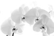 Black  and White orchid isolated on white background