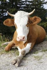 Kuh mit Bein
