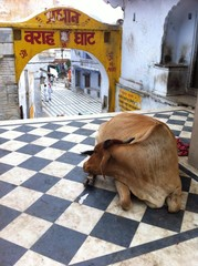 Sacred cow,Pushkar,India