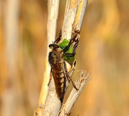 Robber fly with green beetle under its claws