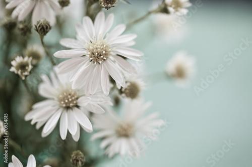daisies © Berna Şafoğlu
