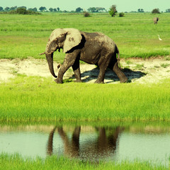 african elephant in wild savanna( Botswana, South Africa)