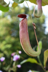 Nepenthes or Monkey Cups