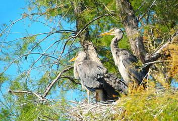 Hérons cendrés au nid