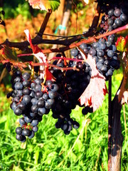 Black terrano grapes and colorful leaves in autumn