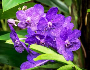 Two-humped dendrobium (Dendrobium bigibbum)