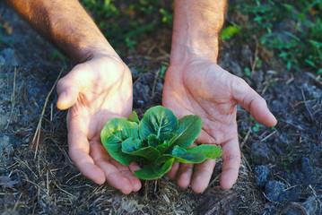 Pianta di Cavolo insalata, sviluppo curare, agricoltura