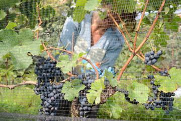 People harvesting grape on a vineyard at Porza