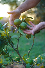 Pianta di Limoni tra le mani, sviluppo curare, agricoltura