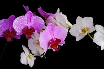 Wet orchids closeup