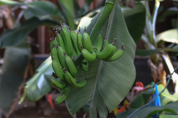 Green bananas on a tree in a botanical garden