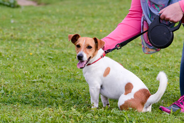 Jack Russell dog being fussed in park