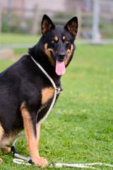 German Shepherd cross Malamute dog