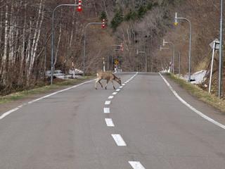 道路を横断するシカ