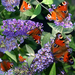 Buddleja Lochinch and butterfly