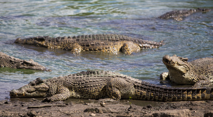 Crocodiles at the crocodile's farm in Guama, Cuba
