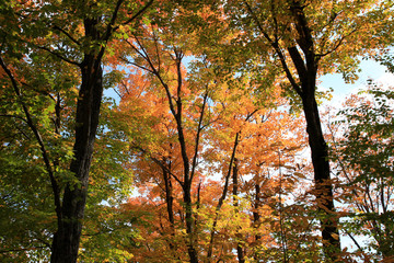 Maple trees in the fall
