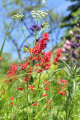 Coral bells flower in garden