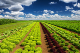 Fototapety Agricultural industry. Growing salad lettuce on field