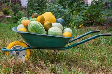Wheelbarrow with freshly harvested crop