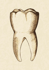 Sketch illustration of human tooth