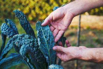 Pianta di Cavolo Nero, sviluppo curare, agricoltura