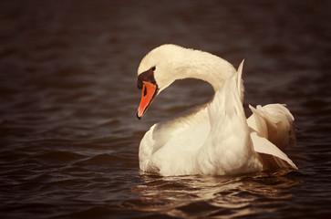 Beautiful swan swimming in the water