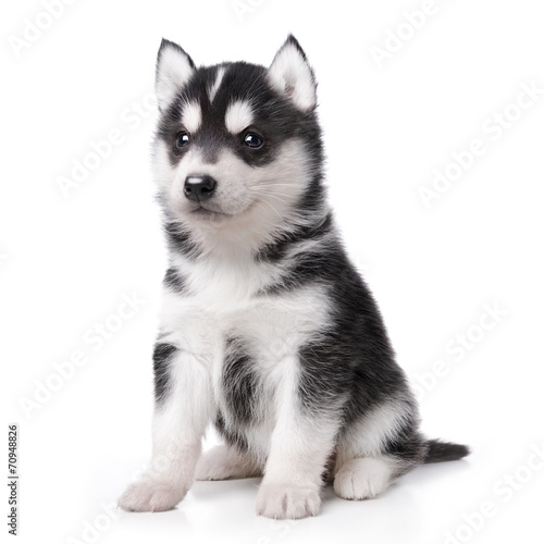 Foto Spatwand Hond Cute little husky puppy isolated on white background