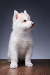 Cute little puppy of siberian husky