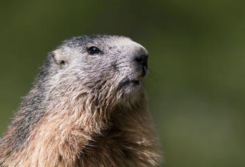 Curious marmot portrait