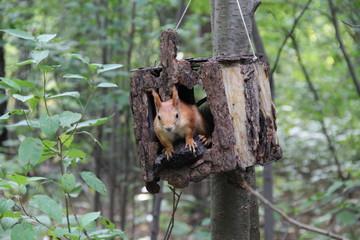 red squirrel in manger
