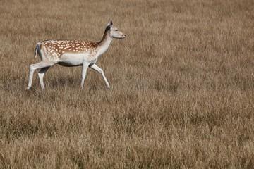 Fallow deer in nature